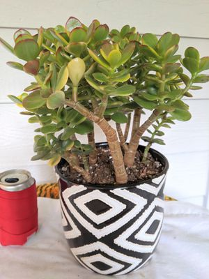 Tricolor Jade Succulent Plants in Black &White Ceramic Planter Pot- Real Indoor House Plant for Sale in Auburn, WA
