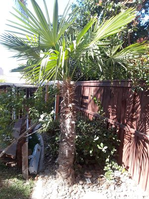 Palm tree for Sale in GLMN HOT SPGS, CA