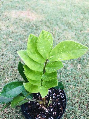 Zamioculcas (Zee zee ) plant for indoor for Sale in Leander, TX