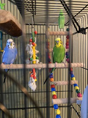 2 Male Parakeets with cage and food included for Sale in St. Charles, IL