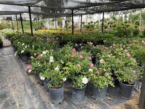 ROSE BUSHES for Sale in Palmdale, CA