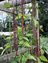 Organic Yard long Gourmet Beans for Sale in Spanaway, WA