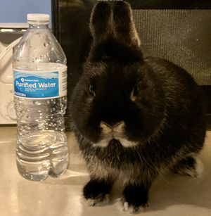 Netherland dwarf bunny for Sale in Balch Springs, TX