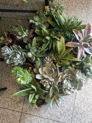 Succulent plants for Sale in Ontario, CA