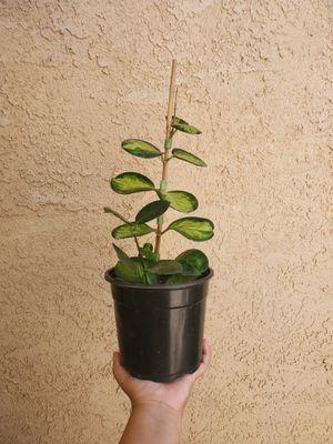 Hoya Australis Lisa Variegated Plant for Sale in Westminster, CA