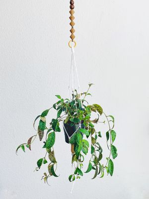 Hanging Black Pagoda Plant for Sale in Los Angeles, CA