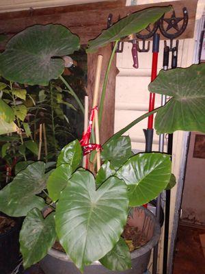 Big elephant ear plant ready un a pot for Sale in Grand Prairie, TX