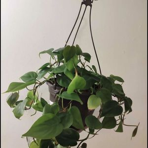 Heartleaf Philodendron Cutting for Sale in Lynwood, CA