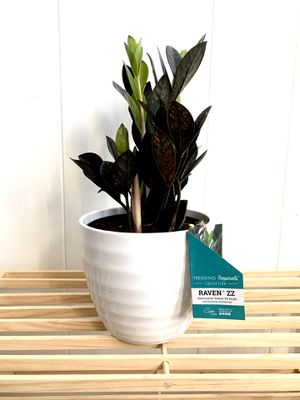 Raven ZZ Live Indoor Houseplant for Sale in Chicago, IL