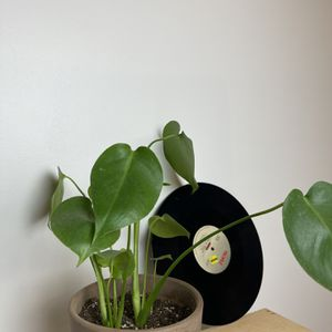 Medium Size Monstera Plant In Terracotta Planter Pot for Sale in Los Angeles, CA