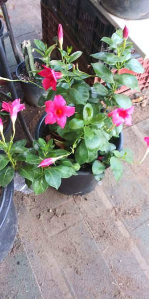 Hot Pink flower plant for Sale in San Marcos, CA