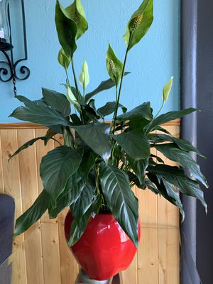 Beautiful Peace Lily Plant Comes in a beautiful ceramic pot like an apple for Sale in Denver, CO