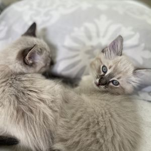 Silver Shaded Siberian Kittens for Sale in Vancouver, WA