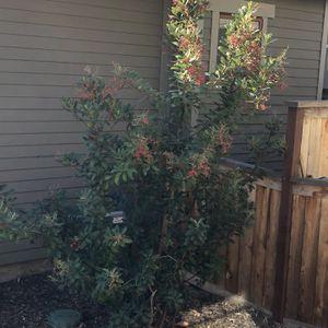 Free Tree / Bush for Sale in Pasadena, CA