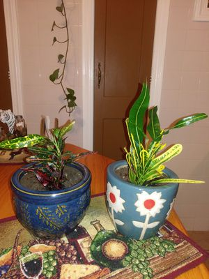 House plant's new soil good for six months for Sale in Cleveland, OH
