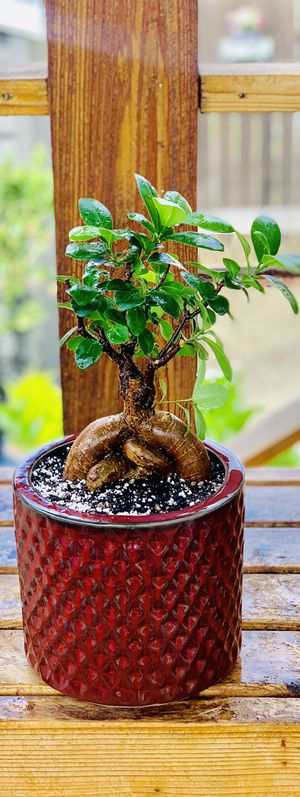 Live indoor Ginseng Ficus bonsai house plant tree in a textured ceramic planter pot—firm price for Sale in Seattle, WA