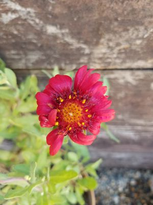 Perennial Plant for Sale in Exeter, CA