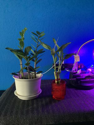 Zz plant and Lucky bamboo for Sale in San Jose, CA