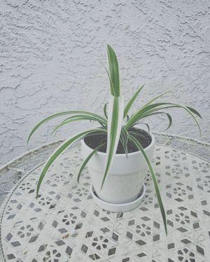 Spider Plant for Sale in Turlock, CA