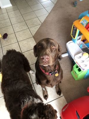 4 year old Female Chocolate Lab for Sale in Waynesville, MO