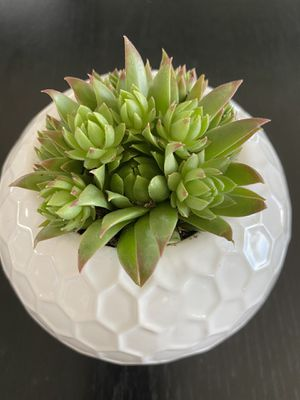 """Succulents And Cactus in a gorgeous 4"""" ceramic pot. $12 each for Sale in Las Vegas, NV"""