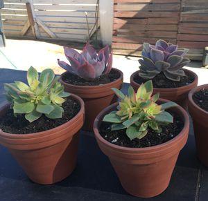 Succulents in Terra-cotta Pots for Sale in Montebello, CA