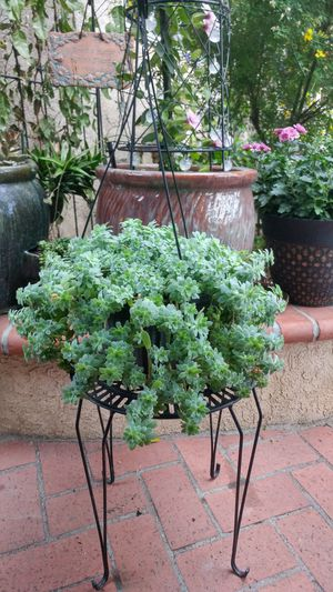 Succulent Plant In a Hanging Basket for Sale in Westminster, CA