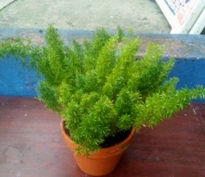 Fox tail fern for Sale in The Bronx, NY