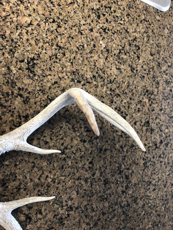 Eight point Whitetail deer antler set want to warn