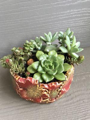 "Beautiful succulents plants in ceramic pot 2.5Hx5""W. for Sale in Everett, WA"