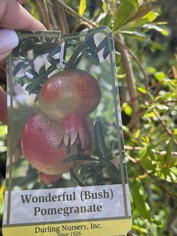 Pomegranate Tree/ Arbol De Granada for Sale in Los Angeles,  CA