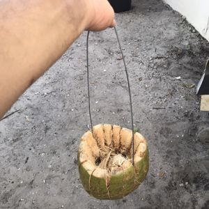 Coconut Plant Baskets for Sale in Pompano Beach, FL