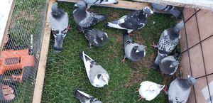 Racing pigeon for sale for Sale in Hermitage, TN