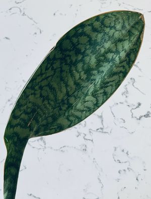 """Sansevieria Masoniana """"Whale Fin"""" Plant for Sale in San Diego, CA"""