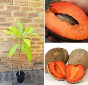 Mamey grafted trees in 3 gal arboles de sapote mamey injertado en 3 gal for Sale in Delray Beach, FL
