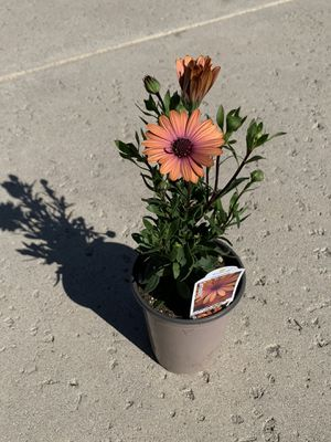 Rare BRONZE OSTEOSPERMUM African copper DAISY flower plant BUSH INDOOR OUTDOOR PLANTS planta plantas SPRING pot plant succulent cacti cactus drought for Sale in Los Angeles, CA