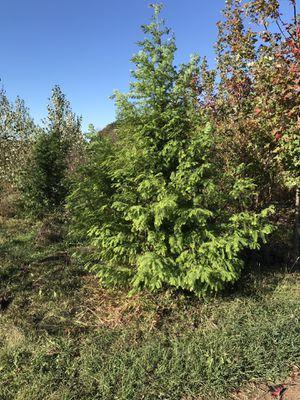 10/12 ft dawn redwood for Sale in Perkasie, PA