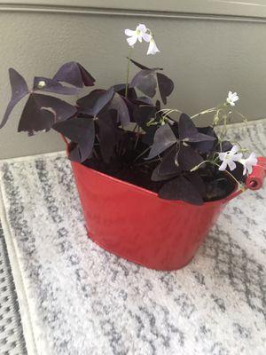 Shamrock Oxalis Beautifule l outdoor and indoor plants for Sale in Nashville, TN
