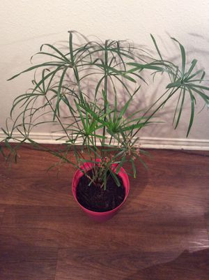 "34"" Organic Homegrown Umbrella Plant Clumping Papyrus Plant (Cyperus Papyrus) Plant in pot - Firm for Sale in Austin, TX"