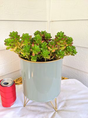 Jelly Bean Succulent Plants in 3-Leg Metal Planter Pot-Real Indoor House Plant for Sale in Auburn, WA