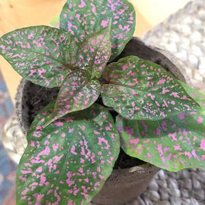 Pink Polka Dot Plant for Sale in Brockport, NY