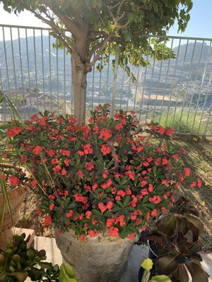 Beautiful mature crown of thorns plant for Sale in Spring Valley, CA
