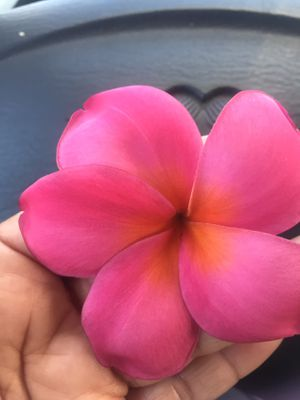 Nice plumeria cutting it has a very strong fragrance for Sale in Norwalk, CA