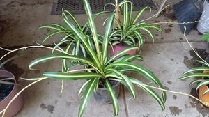 Spider plant for Sale in Fresno, CA