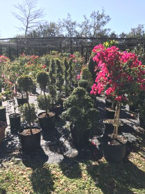 Sale topiary assorted sizes for Sale in Kissimmee, FL
