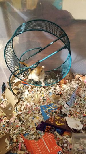 Gerbil and a run about ball! for Sale in Addison, IL
