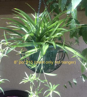 Spider Plants!! for Sale in Arlington, TX