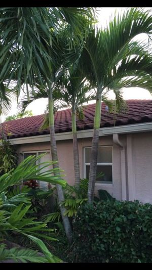 Christmas Palm 15 Feet Tall For Sale In Margate Fl Offerup