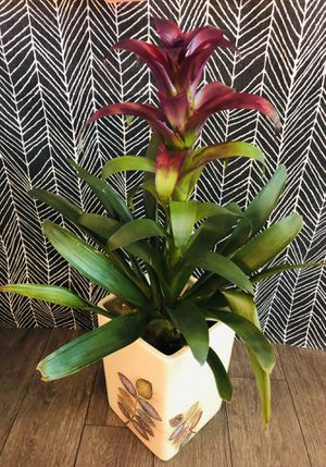 "Live 30"" Indoor Bromeliad Plant In Ceramic Planter for Sale in Phoenix, AZ"