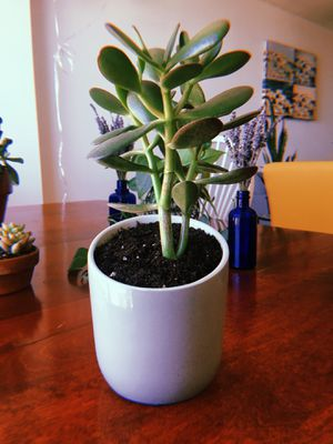 Succulent with Pot for Sale in Chevy Chase, DC